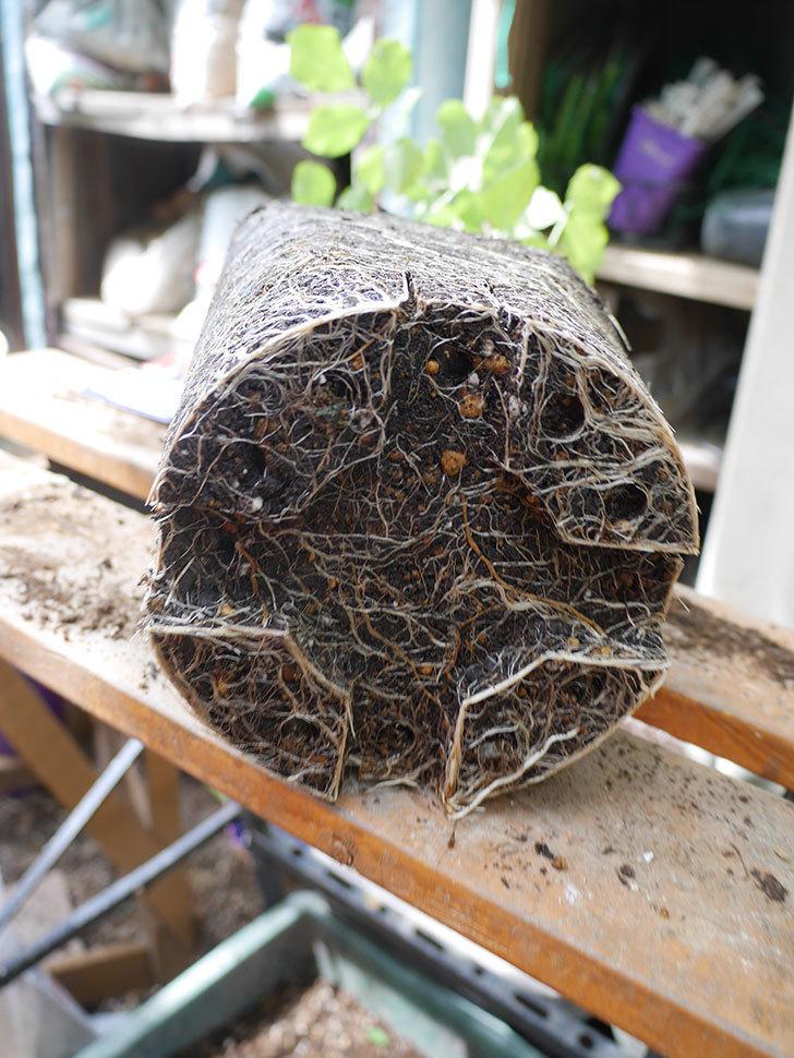 ラ・レーヌ・ドゥ・ラ・ニュイ(La Reine de la Nuit)8号ロングスリット鉢に植え替。2021年-006.jpg