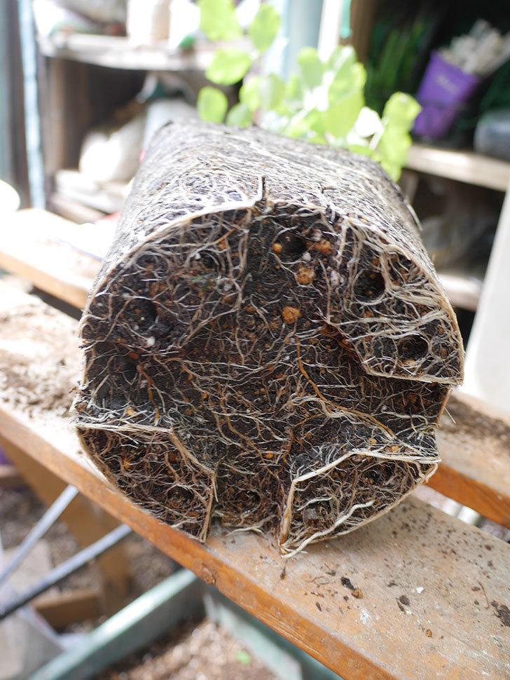 ラ・レーヌ・ドゥ・ラ・ニュイ(La Reine de la Nuit)8号ロングスリット鉢に植え替。2021年-007.jpg