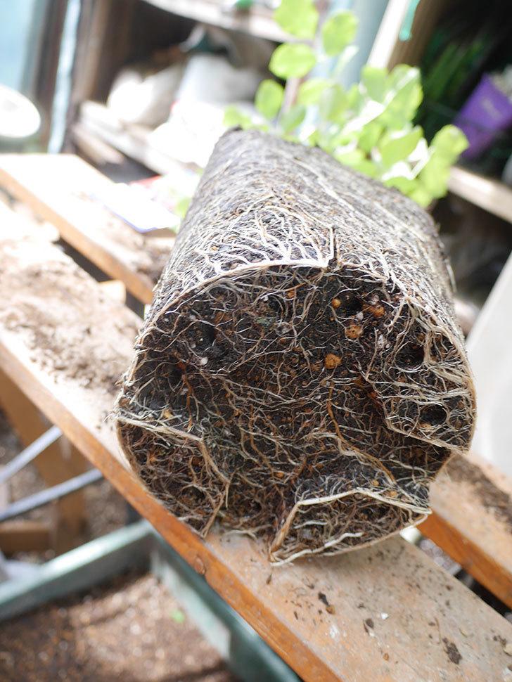 ラ・レーヌ・ドゥ・ラ・ニュイ(La Reine de la Nuit)8号ロングスリット鉢に植え替。2021年-008.jpg