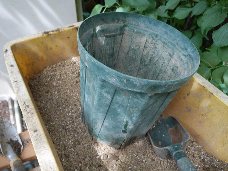 ラ・レーヌ・ドゥ・ラ・ニュイ(La Reine de la Nuit)8号ロングスリット鉢に植え替。2021年-012.jpg