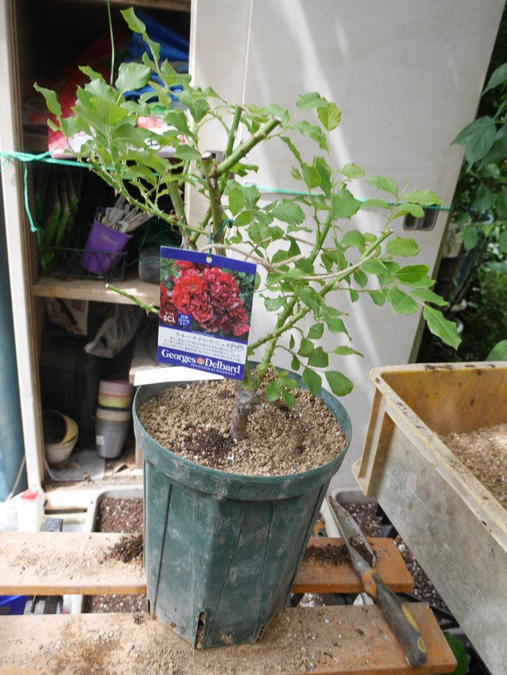 ラ・レーヌ・ドゥ・ラ・ニュイ(La Reine de la Nuit)8号ロングスリット鉢に植え替。2021年-015.jpg
