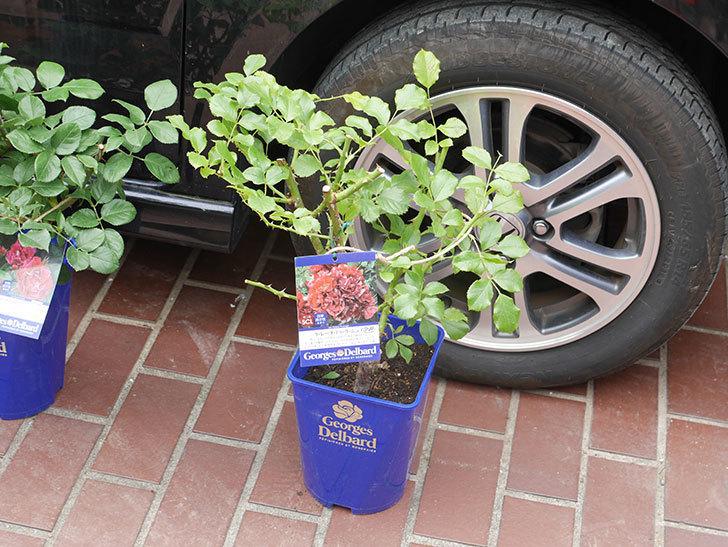 ラ・レーヌ・ドゥ・ラ・ニュイの大苗をはなはなショップで買った。半ツルバラ。2021年-001.jpg