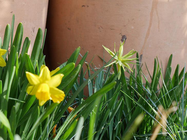 リップバンウインクル(ミニスイセン)の花が久々に咲いた。2021年-001.jpg
