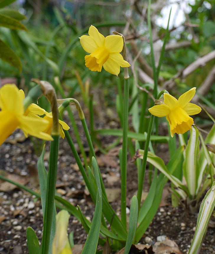 リップバンウインクル(ミニスイセン)の花が少しだけ咲いた。2017年-4.jpg