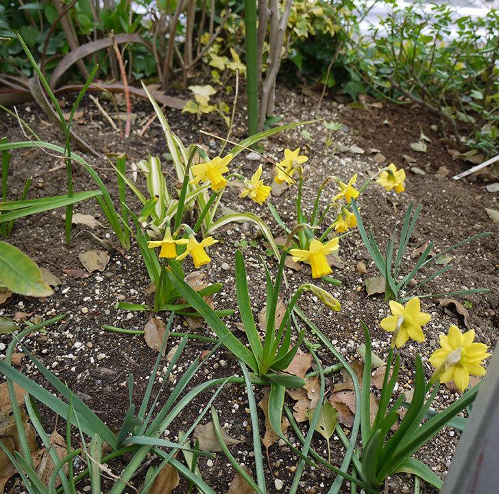 リップバンウインクル(ミニスイセン)の花が少しだけ咲いた。2017年-5.jpg