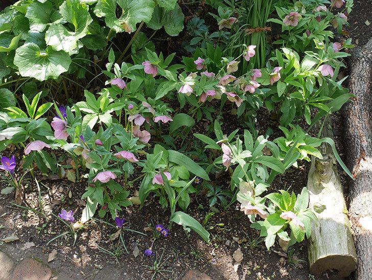 リメンブランス(クロッカス)の花が増えて来た。2019年-14.jpg