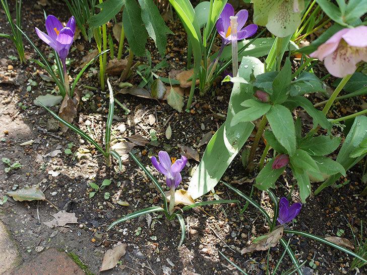 リメンブランス(クロッカス)の花が増えて来た。2019年-2.jpg