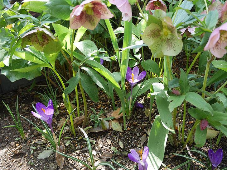 リメンブランス(クロッカス)の花が増えて来た。2019年-6.jpg