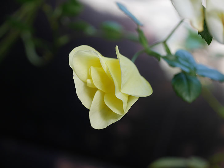 リモンチェッロ(Limoncel)の新苗に秋花がまた咲いた。半ツルバラ。2020年-013.jpg
