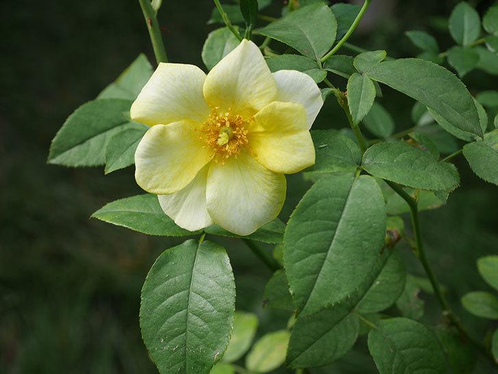 リモンチェッロ(Limoncel)の新苗に秋花が咲いた。半ツルバラ。2020年-007.jpg