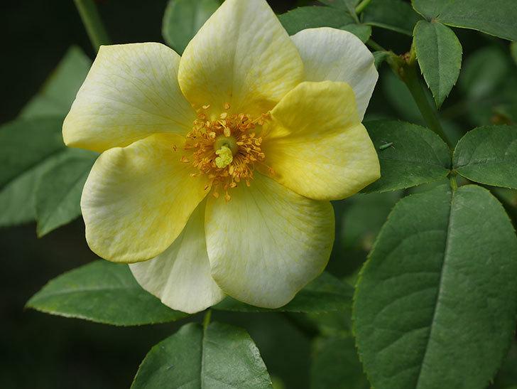 リモンチェッロ(Limoncel)の新苗に秋花が咲いた。半ツルバラ。2020年-008.jpg