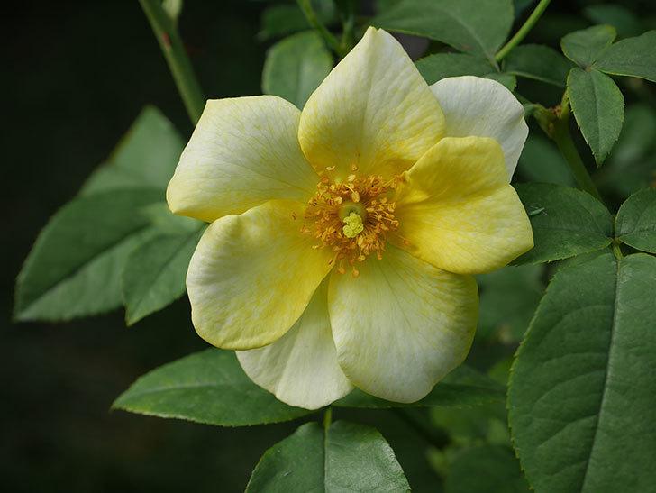 リモンチェッロ(Limoncel)の新苗に秋花が咲いた。半ツルバラ。2020年-009.jpg