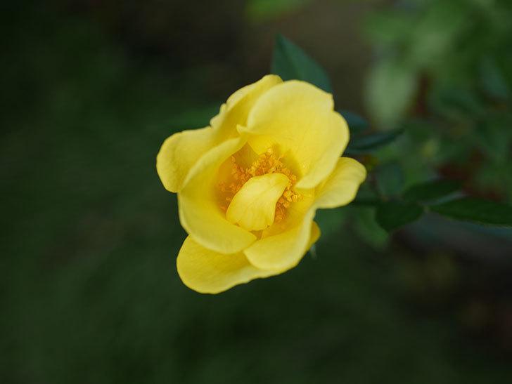 リモンチェッロ(Limoncel)の新苗に秋花が咲いた。半ツルバラ。2020年-012.jpg