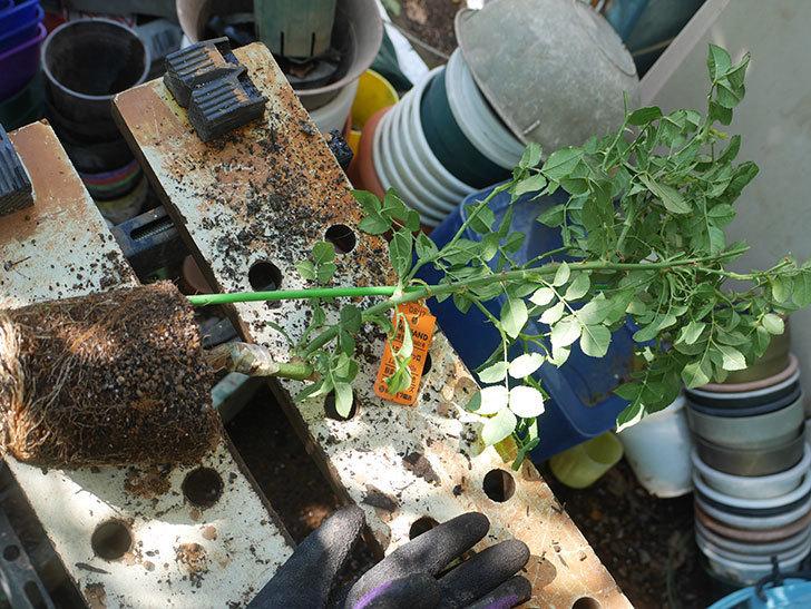 リモンチェッロ(Limoncel)の新苗を6号ロングスリット鉢に植え替えた。半ツルバラ。2020年-001.jpg