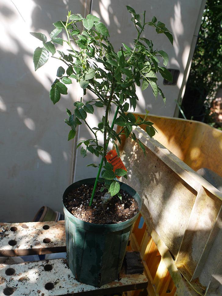 リモンチェッロ(Limoncel)の新苗を6号ロングスリット鉢に植え替えた。半ツルバラ。2020年-005.jpg