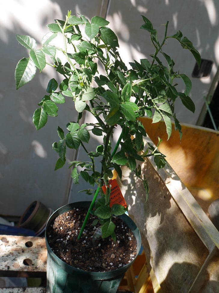 リモンチェッロ(Limoncel)の新苗を6号ロングスリット鉢に植え替えた。半ツルバラ。2020年-006.jpg