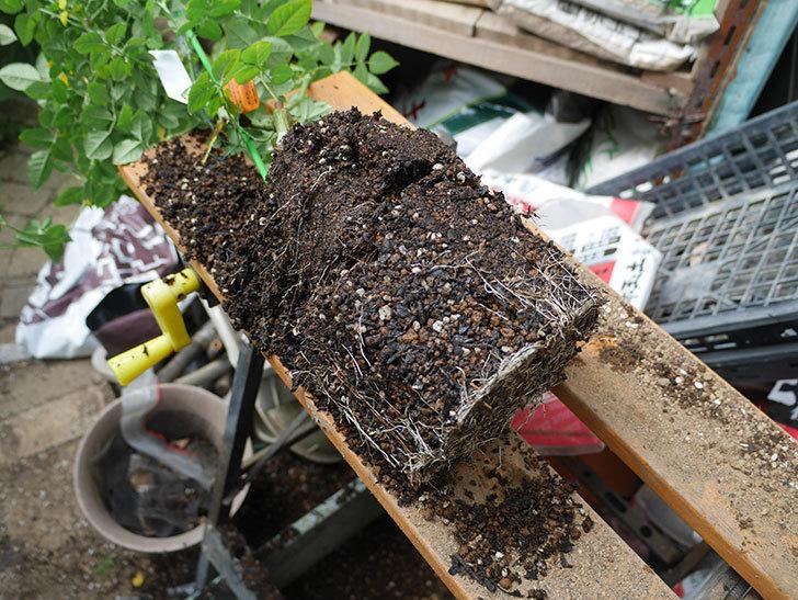 リモンチェッロ(Limoncel)の新苗をEUスリット鉢 EU-24L(8号深鉢)に植え替えた。半ツルバラ。2020年-001.jpg