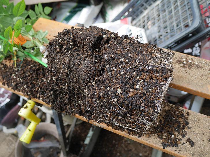 リモンチェッロ(Limoncel)の新苗をEUスリット鉢 EU-24L(8号深鉢)に植え替えた。半ツルバラ。2020年-002.jpg