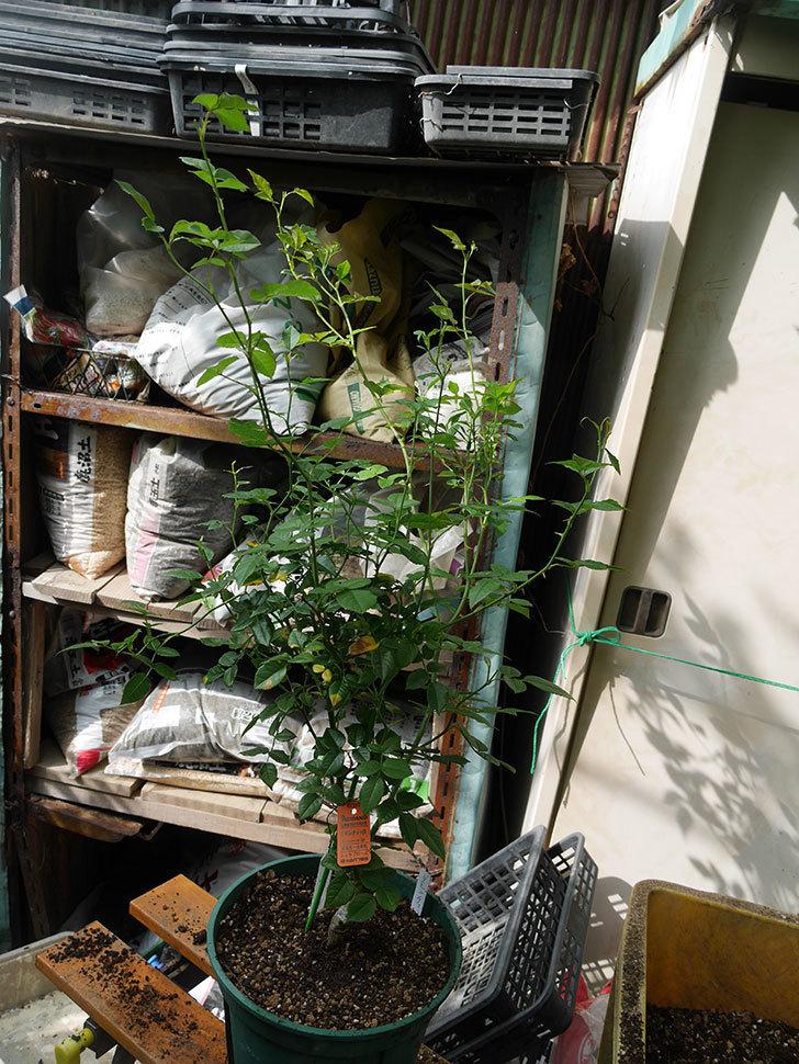 リモンチェッロ(Limoncel)の新苗をEUスリット鉢 EU-24L(8号深鉢)に植え替えた。半ツルバラ。2020年-006.jpg