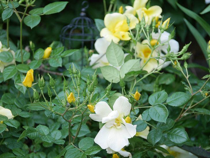 リモンチェッロ(Limoncel)の花がたくさん咲いた。半ツルバラ。2021年-001.jpg