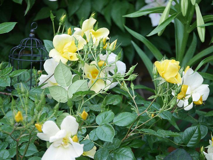 リモンチェッロ(Limoncel)の花がたくさん咲いた。半ツルバラ。2021年-002.jpg