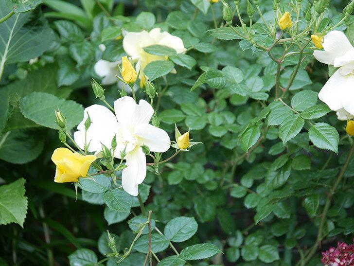 リモンチェッロ(Limoncel)の花がたくさん咲いた。半ツルバラ。2021年-003.jpg