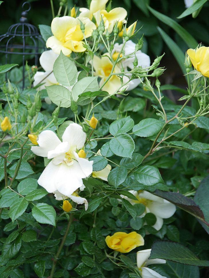 リモンチェッロ(Limoncel)の花がたくさん咲いた。半ツルバラ。2021年-004.jpg
