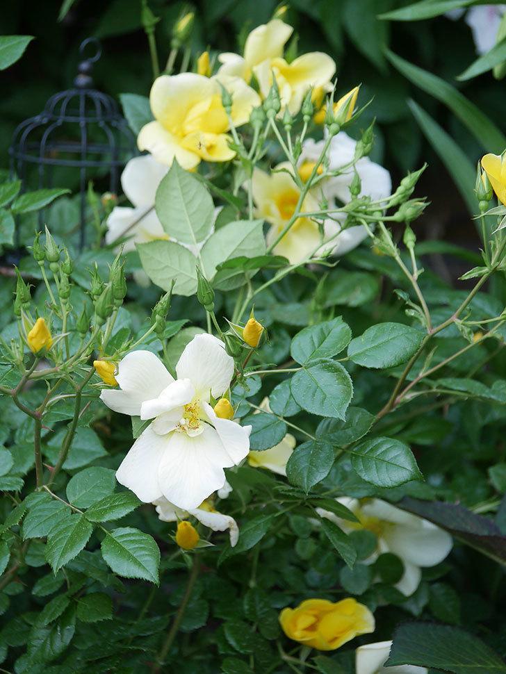 リモンチェッロ(Limoncel)の花がたくさん咲いた。半ツルバラ。2021年-005.jpg