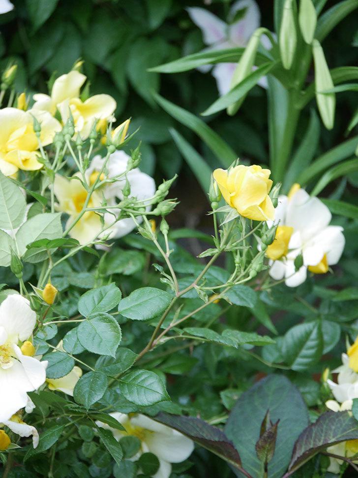 リモンチェッロ(Limoncel)の花がたくさん咲いた。半ツルバラ。2021年-007.jpg