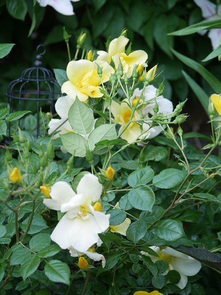 リモンチェッロ(Limoncel)の花がたくさん咲いた。半ツルバラ。2021年-008.jpg