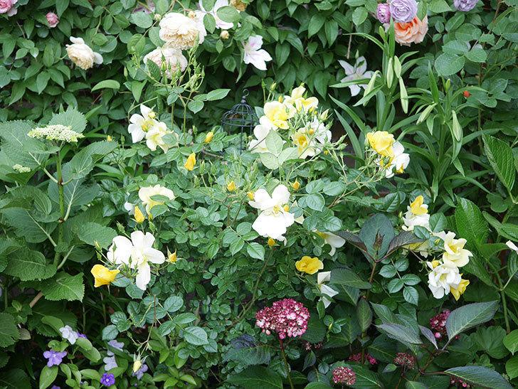 リモンチェッロ(Limoncel)の花がたくさん咲いた。半ツルバラ。2021年-010.jpg