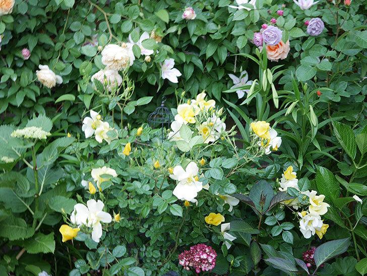 リモンチェッロ(Limoncel)の花がたくさん咲いた。半ツルバラ。2021年-011.jpg