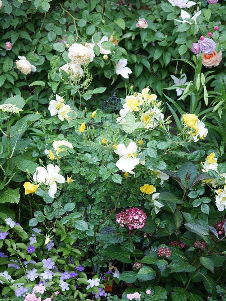 リモンチェッロ(Limoncel)の花がたくさん咲いた。半ツルバラ。2021年-012.jpg