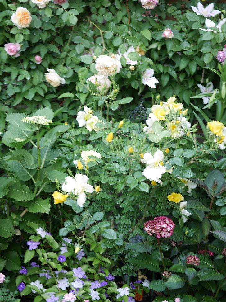 リモンチェッロ(Limoncel)の花がたくさん咲いた。半ツルバラ。2021年-013.jpg