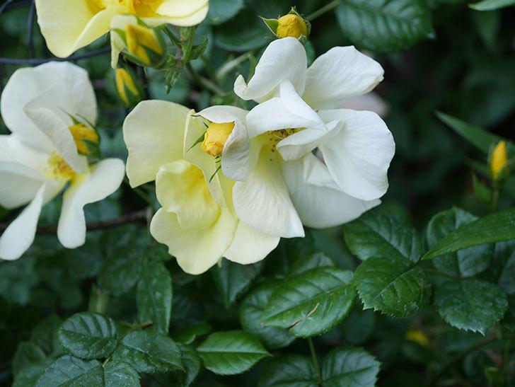 リモンチェッロ(Limoncel)の花がたくさん咲いた。半ツルバラ。2021年-018.jpg