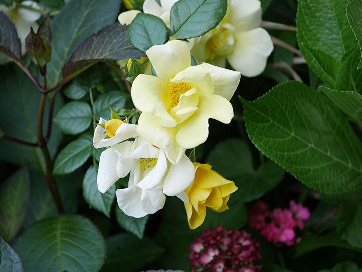リモンチェッロ(Limoncel)の花がたくさん咲いた。半ツルバラ。2021年-020.jpg