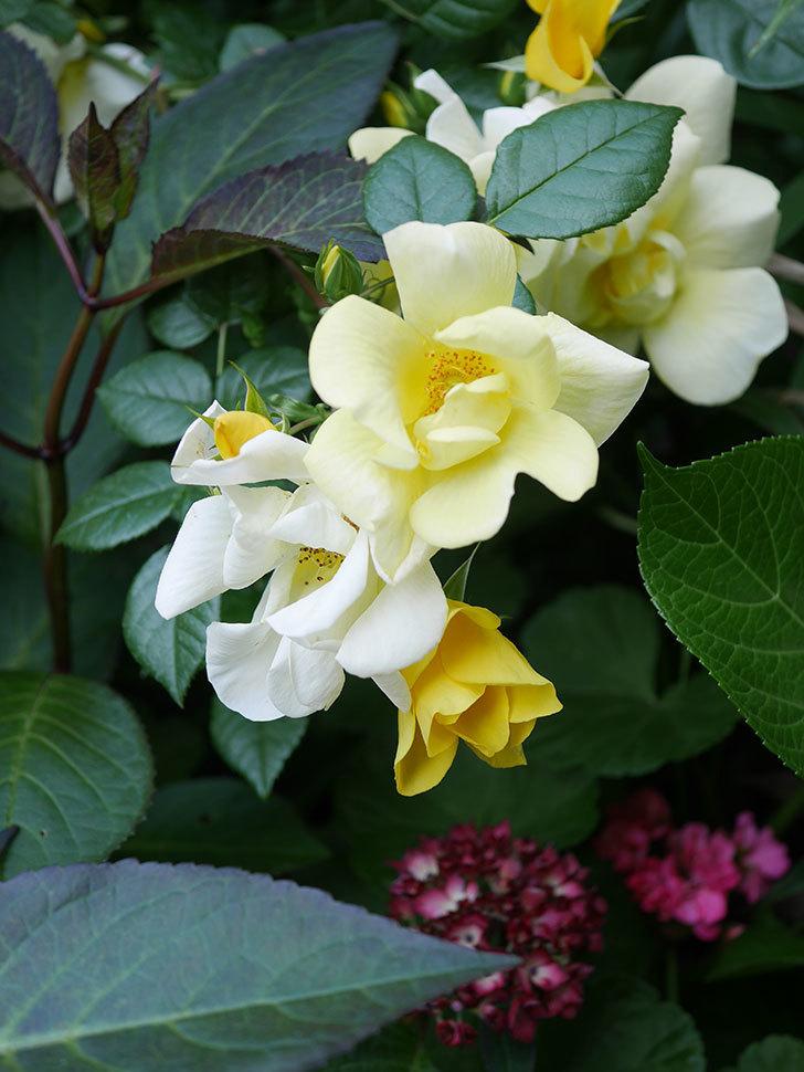 リモンチェッロ(Limoncel)の花がたくさん咲いた。半ツルバラ。2021年-021.jpg