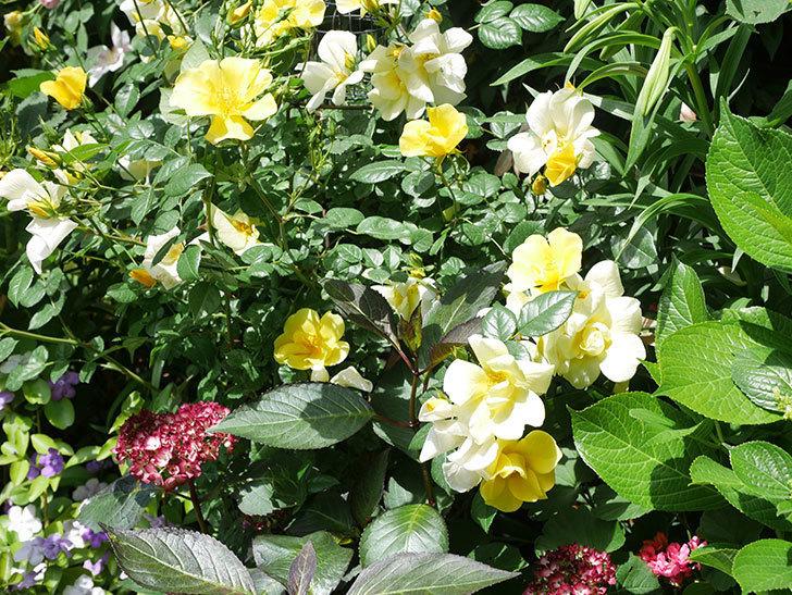 リモンチェッロ(Limoncel)の花がたくさん咲いた。半ツルバラ。2021年-023.jpg