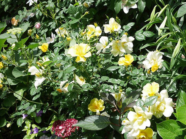 リモンチェッロ(Limoncel)の花がたくさん咲いた。半ツルバラ。2021年-024.jpg