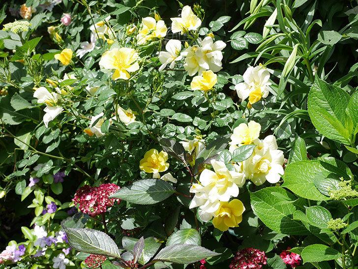 リモンチェッロ(Limoncel)の花がたくさん咲いた。半ツルバラ。2021年-025.jpg