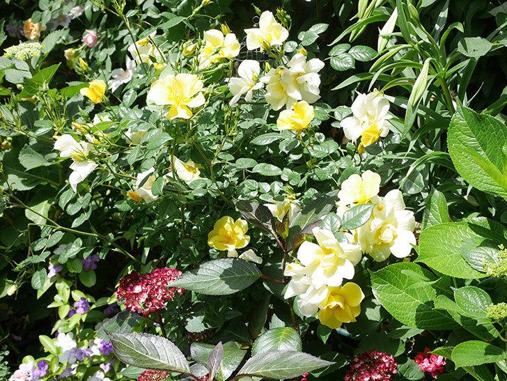 リモンチェッロ(Limoncel)の花がたくさん咲いた。半ツルバラ。2021年-026.jpg