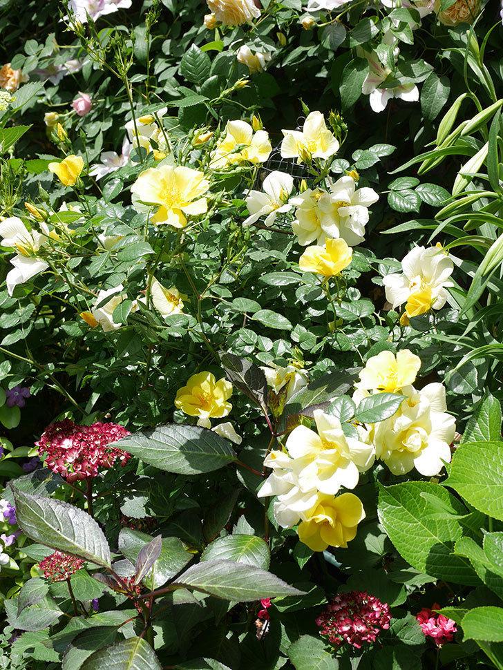 リモンチェッロ(Limoncel)の花がたくさん咲いた。半ツルバラ。2021年-027.jpg