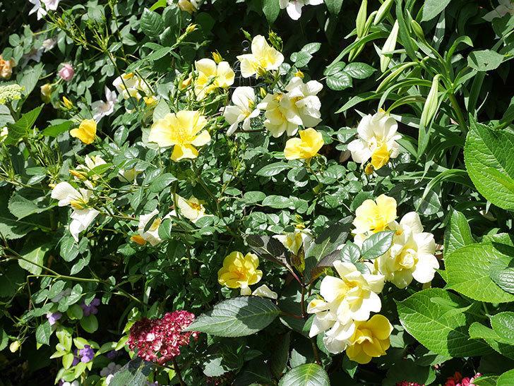 リモンチェッロ(Limoncel)の花がたくさん咲いた。半ツルバラ。2021年-029.jpg