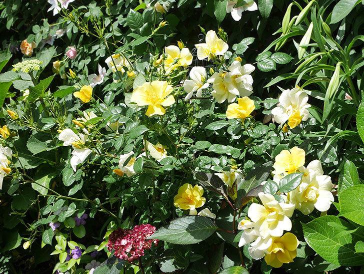 リモンチェッロ(Limoncel)の花がたくさん咲いた。半ツルバラ。2021年-030.jpg