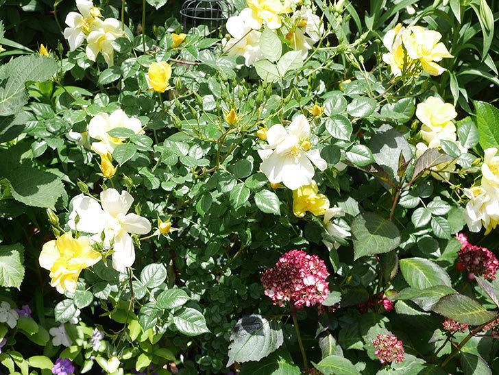 リモンチェッロ(Limoncel)の花がたくさん咲いた。半ツルバラ。2021年-031.jpg