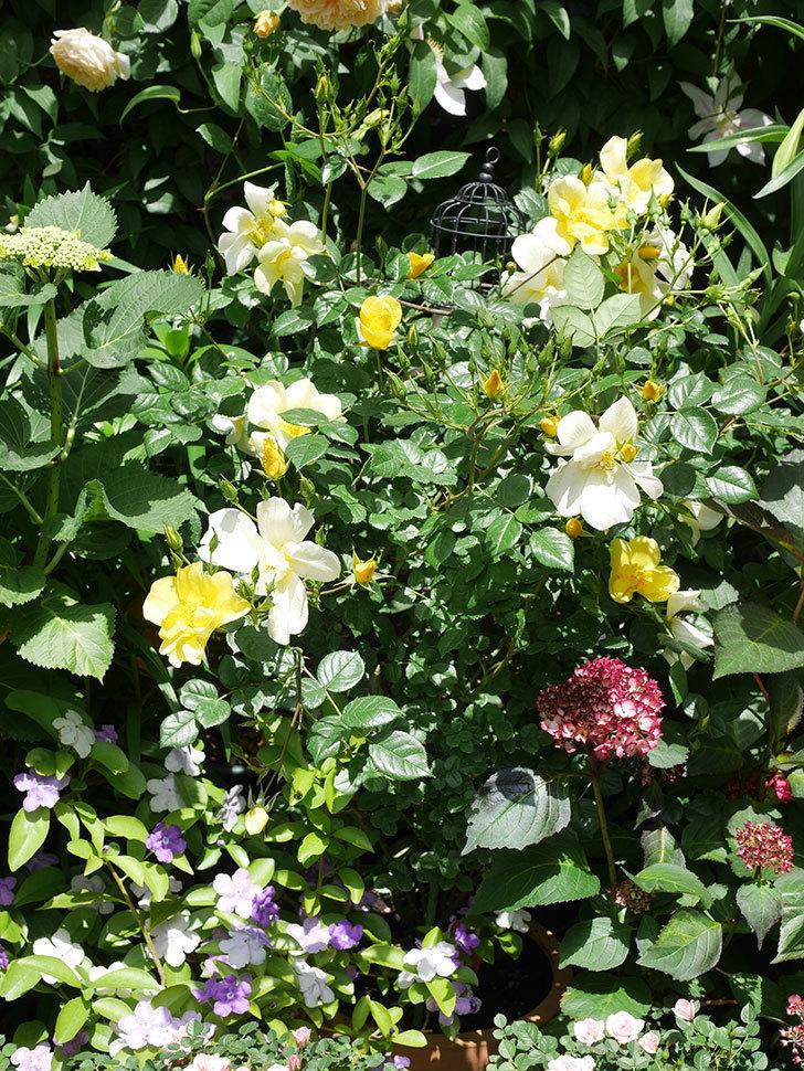 リモンチェッロ(Limoncel)の花がたくさん咲いた。半ツルバラ。2021年-033.jpg
