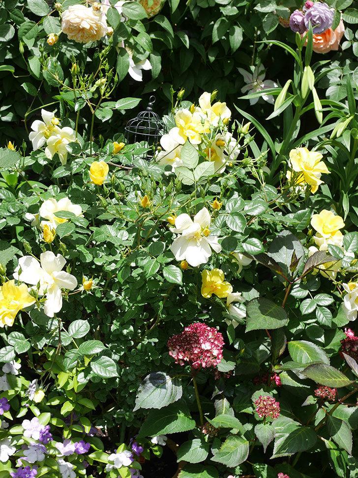 リモンチェッロ(Limoncel)の花がたくさん咲いた。半ツルバラ。2021年-034.jpg
