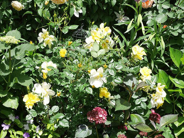 リモンチェッロ(Limoncel)の花がたくさん咲いた。半ツルバラ。2021年-035.jpg