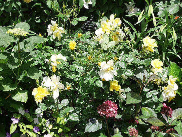 リモンチェッロ(Limoncel)の花がたくさん咲いた。半ツルバラ。2021年-036.jpg