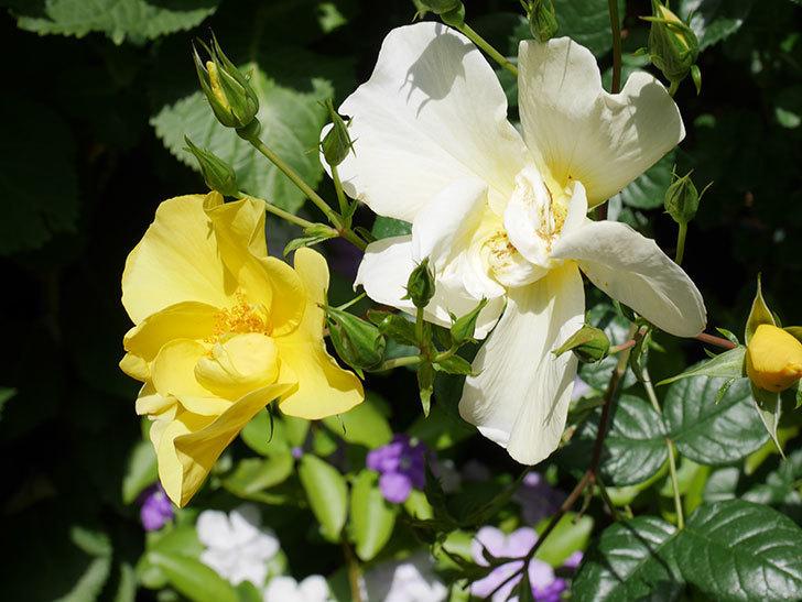 リモンチェッロ(Limoncel)の花がたくさん咲いた。半ツルバラ。2021年-037.jpg